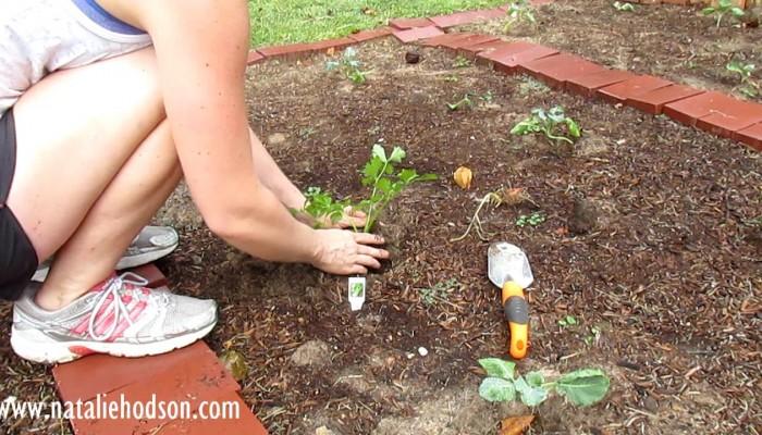 Growing Celery