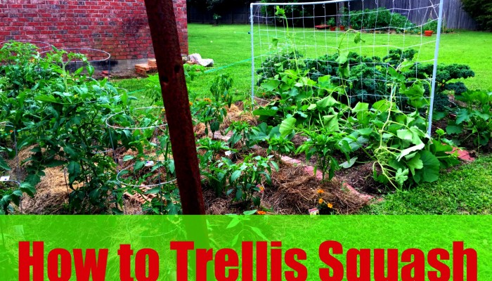 natalie hodson how to trellis squash step by step instructions